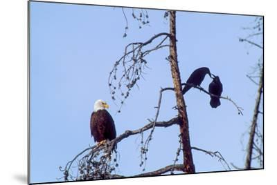 A Bald Eagle Watches Two Ravens in Disgust-Tom Murphy-Mounted Photographic Print