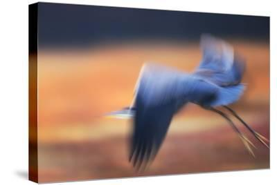 A Great Blue Heron, Ardea Herodias, Taking Flight at Sunset-Robbie George-Stretched Canvas Print