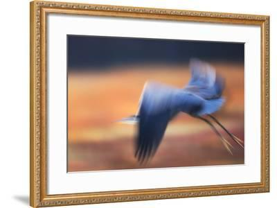 A Great Blue Heron, Ardea Herodias, Taking Flight at Sunset-Robbie George-Framed Photographic Print