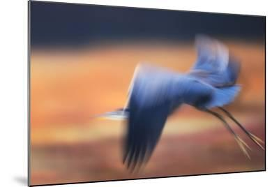 A Great Blue Heron, Ardea Herodias, Taking Flight at Sunset-Robbie George-Mounted Photographic Print