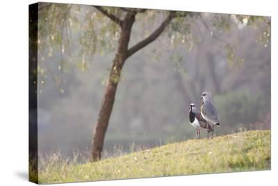 Southern Lapwing, Vanellus Chilensis, Standing by a Tree in Ibirapuera Park-Alex Saberi-Stretched Canvas Print