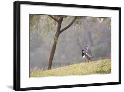 Southern Lapwing, Vanellus Chilensis, Standing by a Tree in Ibirapuera Park-Alex Saberi-Framed Photographic Print