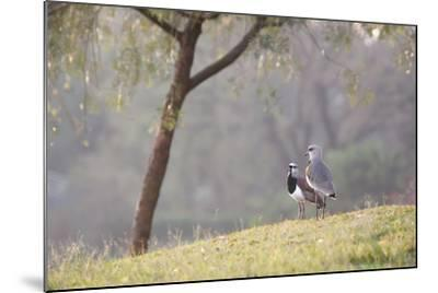 Southern Lapwing, Vanellus Chilensis, Standing by a Tree in Ibirapuera Park-Alex Saberi-Mounted Photographic Print