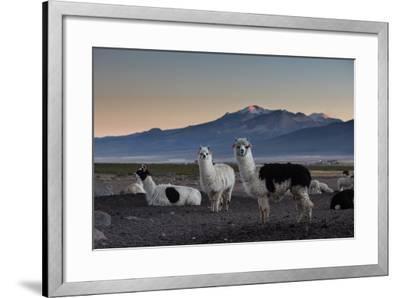 Llama Gathering in the Sajama National Park-Alex Saberi-Framed Photographic Print
