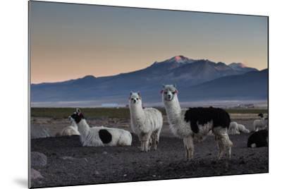 Llama Gathering in the Sajama National Park-Alex Saberi-Mounted Photographic Print