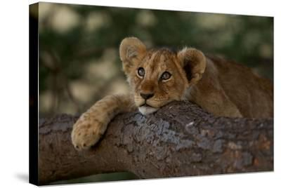 A Lion Cub Rests on a Tree Branch in Serengeti National Park-Michael Nichols-Stretched Canvas Print