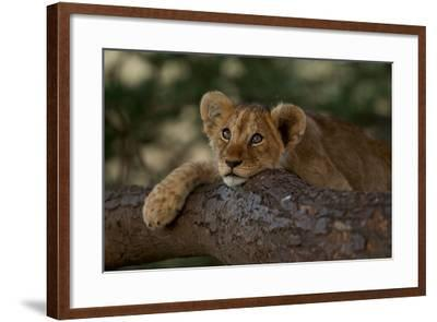 A Lion Cub Rests on a Tree Branch in Serengeti National Park-Michael Nichols-Framed Photographic Print