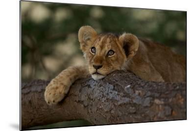 A Lion Cub Rests on a Tree Branch in Serengeti National Park-Michael Nichols-Mounted Photographic Print