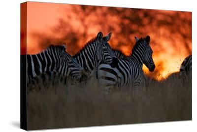 A Herd of Burchell's Zebra Move across the Plains of the Serengeti-Michael Nichols-Stretched Canvas Print