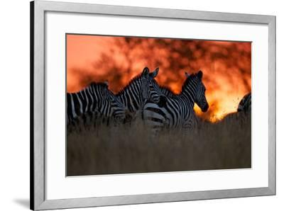 A Herd of Burchell's Zebra Move across the Plains of the Serengeti-Michael Nichols-Framed Photographic Print
