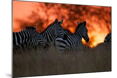 A Herd of Burchell's Zebra Move across the Plains of the Serengeti-Michael Nichols-Mounted Photographic Print