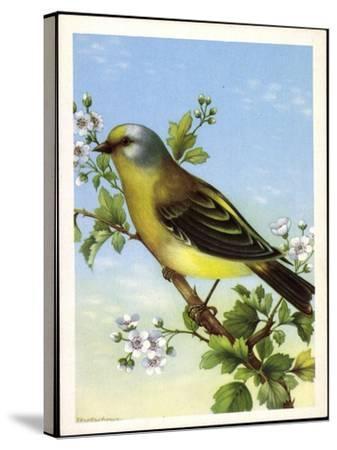 Künstler Zitronenzeisig, Carduelis Citrinella, Vogel--Stretched Canvas Print