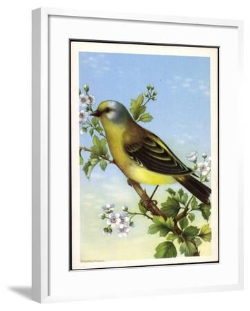 Künstler Zitronenzeisig, Carduelis Citrinella, Vogel--Framed Giclee Print