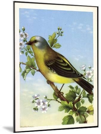 Künstler Zitronenzeisig, Carduelis Citrinella, Vogel--Mounted Giclee Print