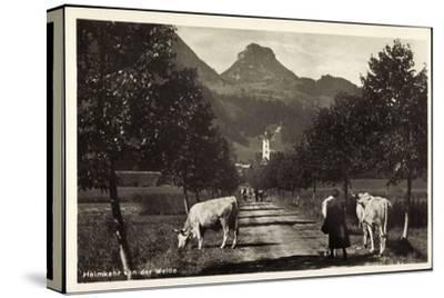 Oberaudorf Am Inn, Rinderherde Kommt Von Der Weide--Stretched Canvas Print