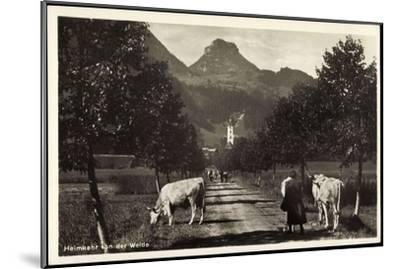 Oberaudorf Am Inn, Rinderherde Kommt Von Der Weide--Mounted Giclee Print