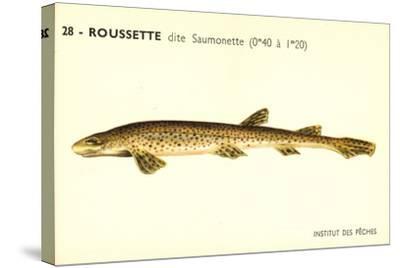 Künstler Fische, Institut Des Peches, Roussette Dite Saumonette--Stretched Canvas Print