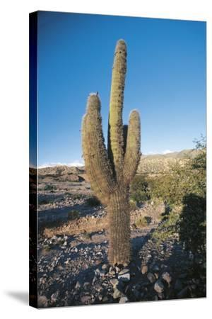 Cactus--Stretched Canvas Print