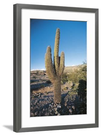 Cactus--Framed Photographic Print