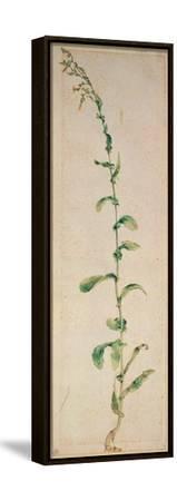 A Tobacco Plant-Albrecht D?rer-Framed Stretched Canvas Print