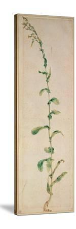 A Tobacco Plant-Albrecht D?rer-Stretched Canvas Print