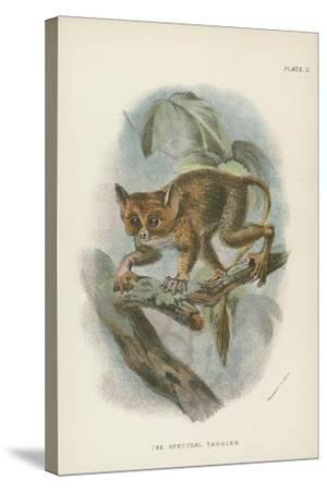 The Spectral Tarsier--Stretched Canvas Print