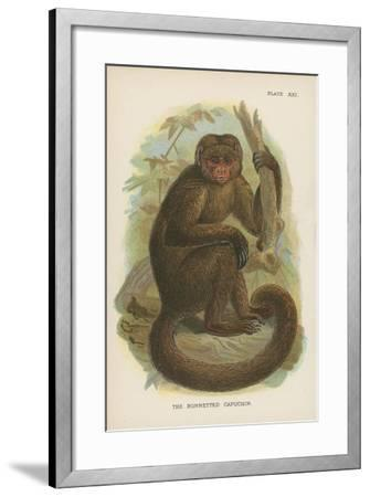 The Bonnetted Capuchin--Framed Giclee Print