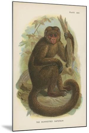 The Bonnetted Capuchin--Mounted Giclee Print