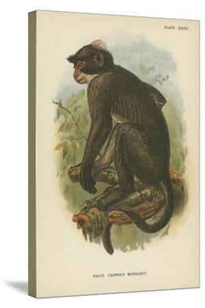 White Crowned Mangabey--Stretched Canvas Print