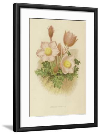Anemone Vernalis--Framed Giclee Print