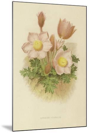 Anemone Vernalis--Mounted Giclee Print