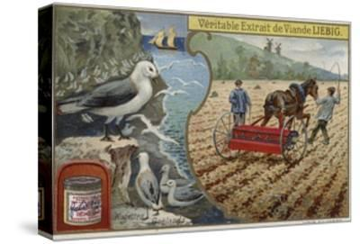 Liebig Card Featuring Seabirds--Stretched Canvas Print