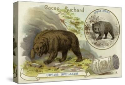 Cave Bear and Brown Bear--Stretched Canvas Print