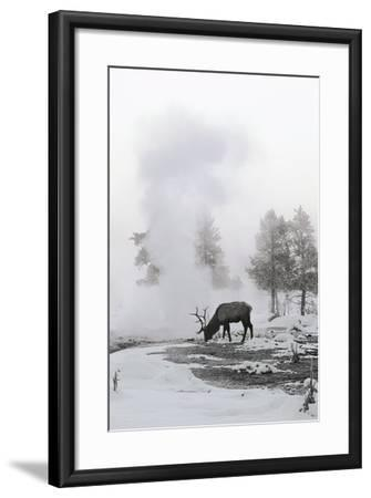 Reindeer Looking for Grass under the Snow--Framed Photographic Print