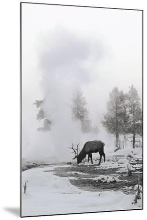 Reindeer Looking for Grass under the Snow--Mounted Photographic Print