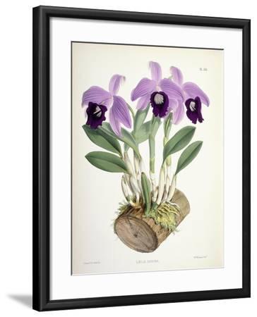 Laelia Dayana, C.1882-1897-Walter Hood Fitch-Framed Giclee Print