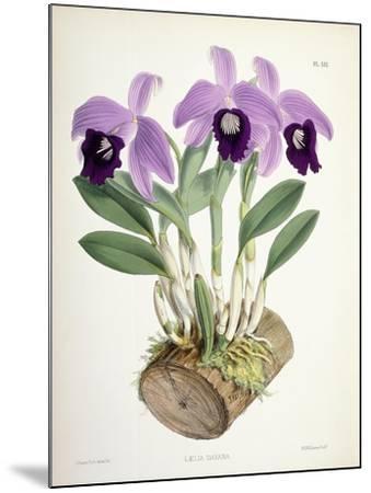 Laelia Dayana, C.1882-1897-Walter Hood Fitch-Mounted Giclee Print