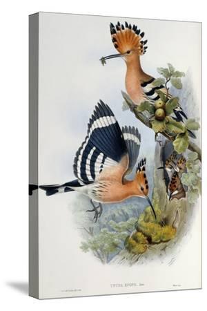 Upupa Epops-John Gould-Stretched Canvas Print
