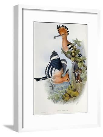 Upupa Epops-John Gould-Framed Giclee Print