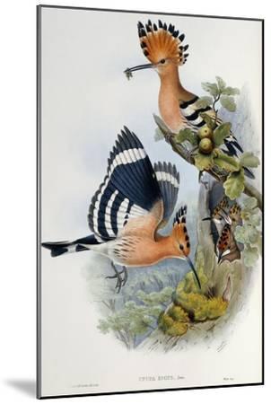 Upupa Epops-John Gould-Mounted Giclee Print
