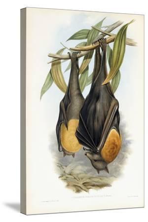 Grey-Headed Flying Fox-John Gould-Stretched Canvas Print