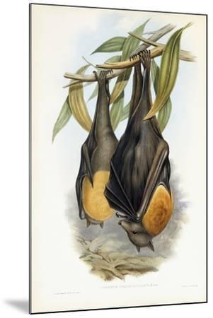 Grey-Headed Flying Fox-John Gould-Mounted Giclee Print