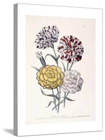 A Variety of Carnations-Jane W^ Loudon-Stretched Canvas Print