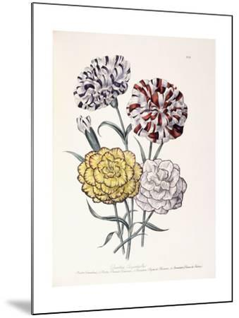 A Variety of Carnations-Jane W^ Loudon-Mounted Giclee Print