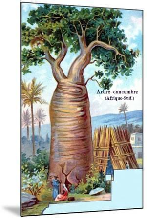 Cucumber Tree, South Africa, 1901--Mounted Giclee Print