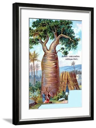 Cucumber Tree, South Africa, 1901--Framed Giclee Print
