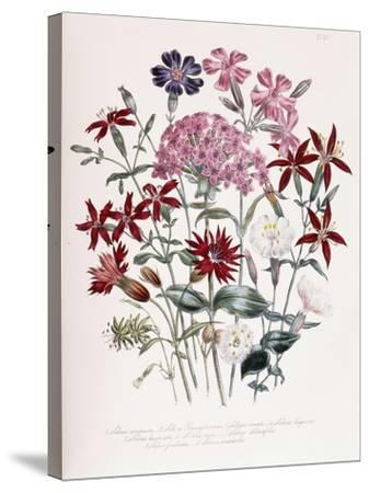 Catchfly-Jane W^ Loudon-Stretched Canvas Print