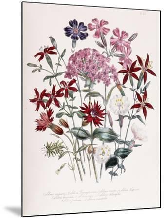Catchfly-Jane W^ Loudon-Mounted Giclee Print