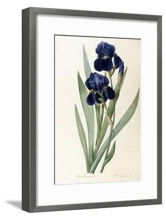Iris Germanica-Pierre-Joseph Redout?-Framed Giclee Print