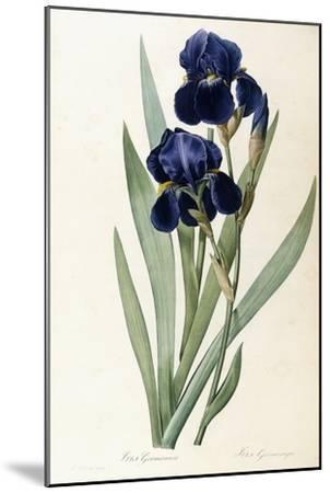 Iris Germanica-Pierre-Joseph Redout?-Mounted Giclee Print
